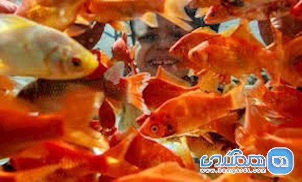 ماهی قرمزها می توانند ناقل کروناویروس باشند؟